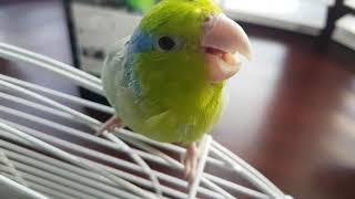 Kiwi the parrotlet.  Say hi kiwi.