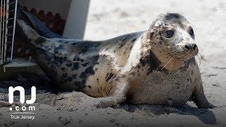 Grey seals return to the Atlantic Ocean