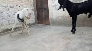 Goat farming business in pakistan || And Price issues - Most Popular