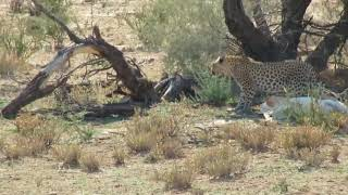 cheetah and leopard stand off