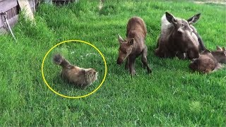 This Cat Was Stalking A Family Of Moose When An Unexpected Showdown She Wasn't Ready For Took Place