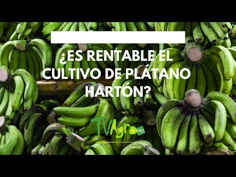 , title : '¿Es RENTABLE el cultivo de PLÁTANO HARTÓN? - TvAgro por Juan Gonzalo Angel'