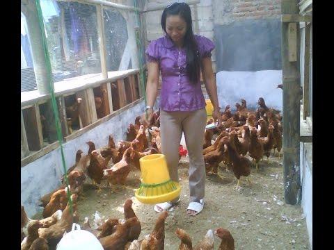 Video Merintis Usaha Ayam Potong Untung Yang Mengiurkan