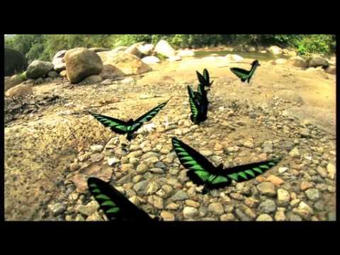 アカエリトリバネアゲハの飛翔