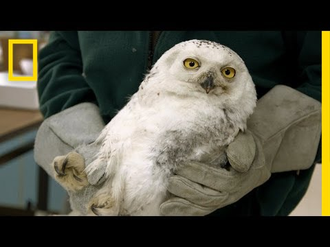 """Injured D.C. Snowy Owl Gets """"New"""" Wing 