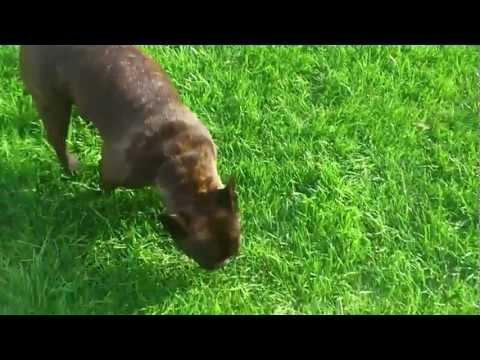 Französische Bulldogge,Hund hat Husten/Zwingerhusten??