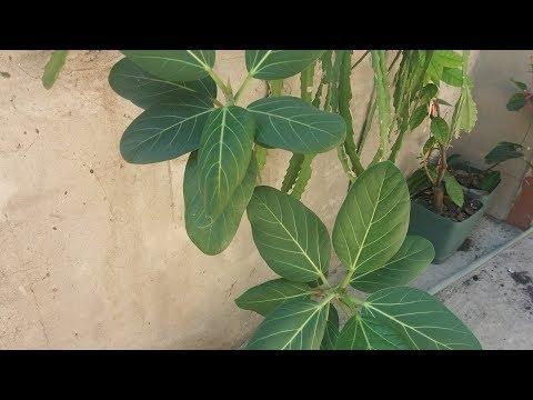 Благодарю любителей растений за отклик.  Мой черенок опознан !