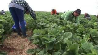 preview picture of video 'REWE-Richrath: Beeren aus der Region'