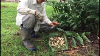 減農薬農園、秋、ミョウガの収穫