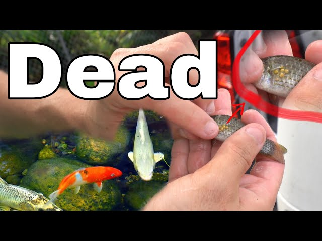 Saving Priceless KOI FISH From Infectious Mollies!! ** WATCH OUT**