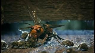 Битва пчел с шершнем.