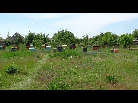 Акация не всегда радует пчеловода на пасике