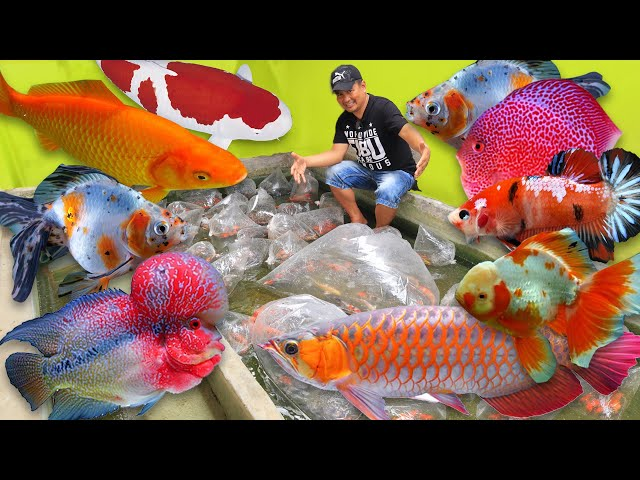 MALAYSIA IMPORTED DISCUS FISH, SILVER AROWANA ,GUPPY, LIONHEAD GOLDFISH & BETTA KOI (Unboxing)
