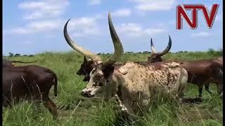 Bugisu Cooperative Union wants herdsmen off Bulambuli land