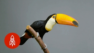 The Largest of the Toucans Has an EPIC Bill