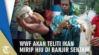 WWF Indonesia Akan Teliti Ikan Mirip Hiu yang Ditemukan Warga Korban Banjir Sentani