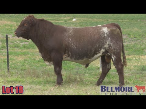 BELMORE TSAR Q151