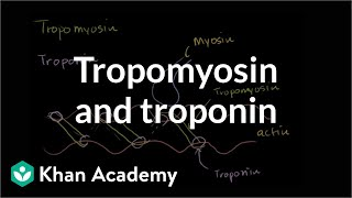 Tropomyosin and troponin and their role in regulating muscle contraction