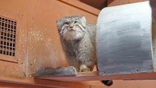 閉園間際のソワソワ・マヌルネコ(埼玉県こども動物自然公園)Pallas's Cat