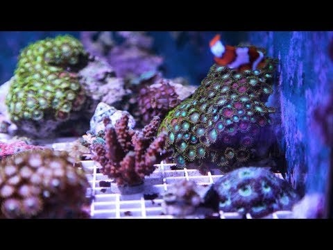 Zoanthid coral in home aquarium blamed for making family ill