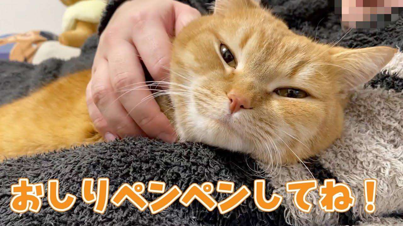 お風呂あがりのパパの隣が大好きな短足マンチカンが可愛い! #猫 #cat #マンチカン #お風呂 #パパ #短足