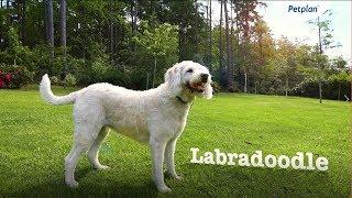 Labradoodle Breed Information: Temperament, Lifespan & Facts   Petplan