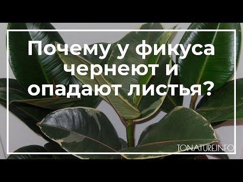 Почему у фикуса чернеют и опадают листья?   toNature.Info