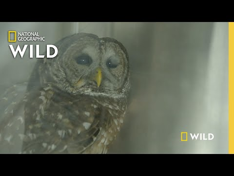 Helping a Concussed Owl | Critter Fixers: Country Vets