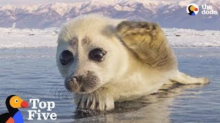 Seal Pup Waves To Photographer + Other Amazing Animal Encounters   The Dodo Top 5