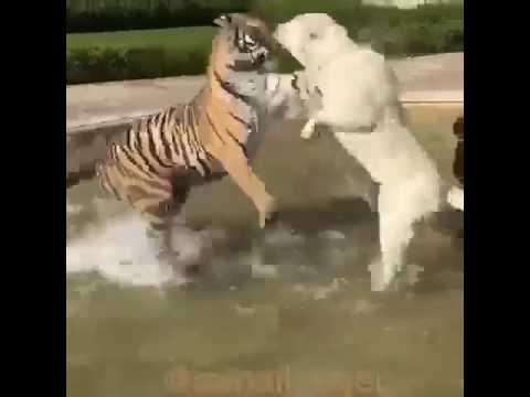Tiger VS  Dog Animal Attack