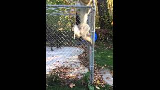 German Shepard Jumps 6ft Fence