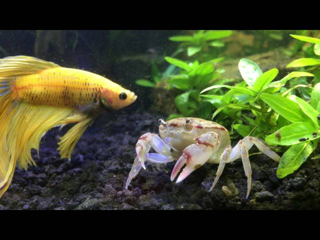 Betta Meeting New Freshwater crab