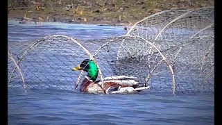 Спасал дикую утку из браконьерской снасти. Рыбалка на крупного карася. Первая рыбалка на донку.