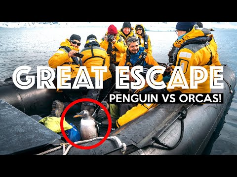 Little Penguin Jumps Into a Boat to Escape Killer Whales