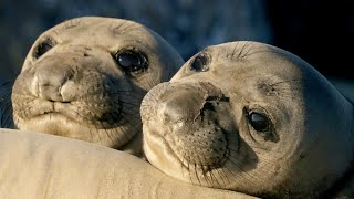 Seal Pups: Playful Prodigies   Animals with Cameras 2   BBC Earth