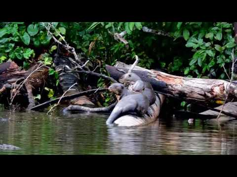 GIANT RIVER OTTERS IN COCOCOCHA LAKE, TAMBOPATA