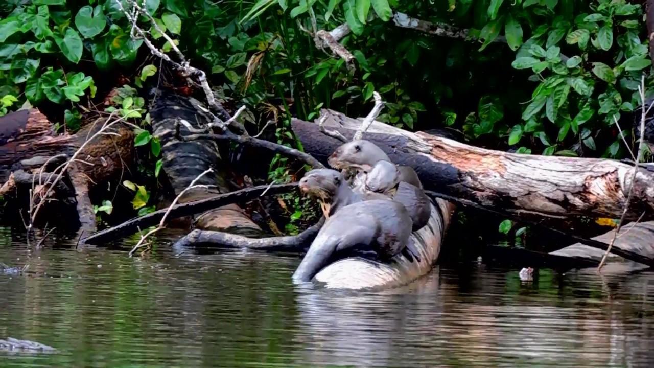 GIANT RIVER OTTERS IN COCOCOCHA LAKE, TAMBOPATA