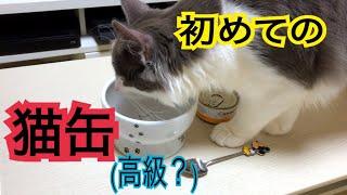 初めての猫缶!興奮のガッツキ!【ノルウェージャンフォレストキャット】
