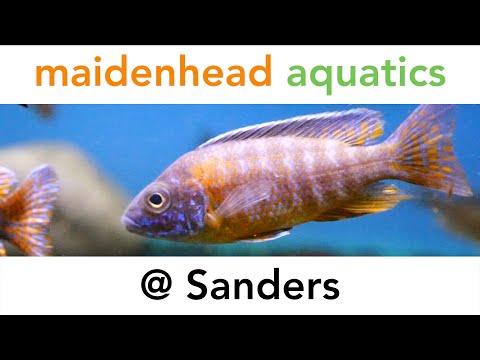 sanders maidenhead aquatics. Black Bedroom Furniture Sets. Home Design Ideas