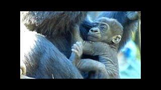 上野動物園ゴリラの赤ちゃんリキくん生後2ヶ月Gorillababy,2monthsold