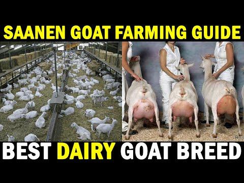 , title : 'Saanen Goat Farm | Highest Milk Producing Goat Breed | Dairy Goat Breed | Goat Farming Guide