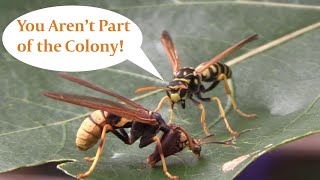 Wasp Impersonator Meets the Real Deal, The Mantisfly