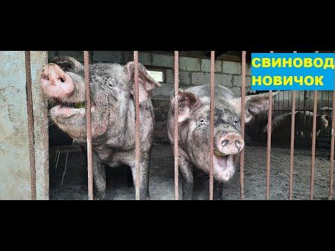 , title : 'Порода свиней Ф1-Ф2. Йоркшир+Ландрас! Лучшие гибриды свиней для разведения! Откорм.Свиноводство.