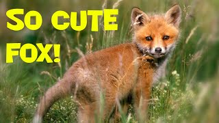 Say Hello To My Little Foxie Asriel! Cute And Lovely Animals At Home. Sweet Fox