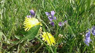 Wild Violets and Dandelions In The Grass - Video Youtube