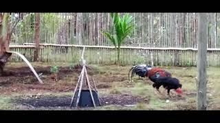 Mengawinkan Ayam Bangkok Dengan Ayam Kampung Secara Alami