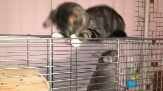Кошки  и шиншиллы