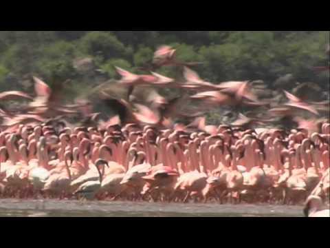 אגם בוגוריה בקניה
