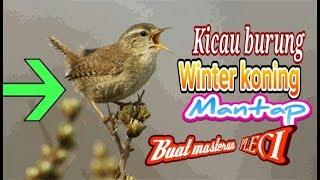 Masteran Pleci Nembak Winter Koning