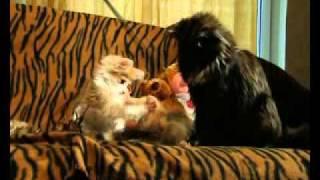 Норвежская лесная кошка. Питомник Foresterra